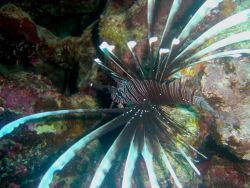 Lionfish (Pterois volitans). Photo