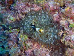 Sea anemone with anemonefish Photo