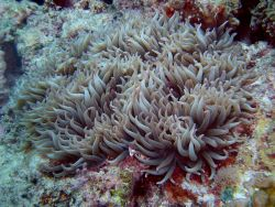 Beautiful pink-tipped sea anemone tentacles Photo