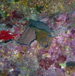 Giant moray (Gymnothorax javanicus) at Wing Beach. Photo