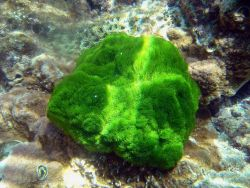 Green algae. Photo