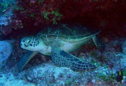 Green sea turtle. Photo