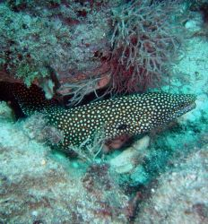 Whitemouth moray (Gymnothorax meleagris). Photo