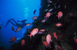 Blackbar soldierfish (Myripristis jacobus) Photo
