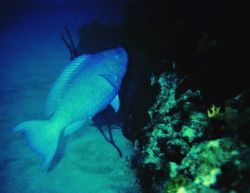 Blue parrotfish (Scarus coeruleus) Photo