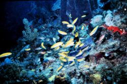 Assemblage of bluehead wrasse females. Photo