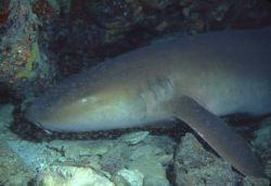 Nurse shark (Ginglymostoma cirratum) Photo