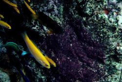Initial phase bluehead (Thalassoma bifasciatum) Photo