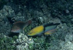 Yellowhead wrasse (Halichoeres garnoti) in center Photo
