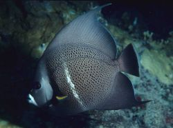 Gray angelfish (Pomacanthus arcuatus) Photo