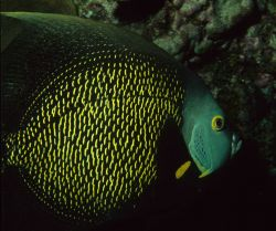 French angelfish (Pomacanthus paru) Photo
