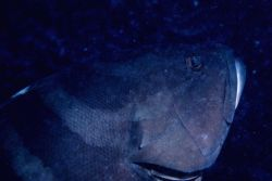 Nassau grouper (Epinephelus striatus) Photo