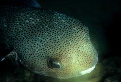 Porcupinefish (Diodon hystrix) Photo