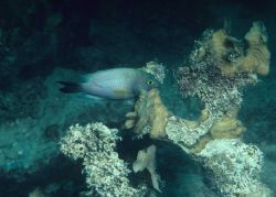 Damselfish species unidentified Photo