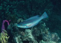Striped parrotfish (Scarus iserti) terminal phase Photo
