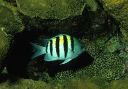 Sergeant major (Abudefduf saxatilis) Photo