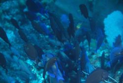 Blue tang (Acanthurus coeruleus) and ocean surgeonfish (Acanthurus bahianus) Photo