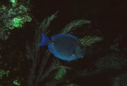 Blue tang (Acanthurus coeruleus) Photo