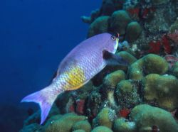 Creole wrasse (Clepticus parrai) Photo