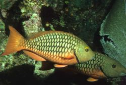 Stoplight parrotfish (Sparisoma viride) Photo