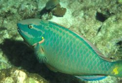 Stoplight parrotfish (Sparisoma viride) terminal phase Photo