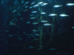 Unidentified schooling fish in kelp forest (not coral reef environment) Photo