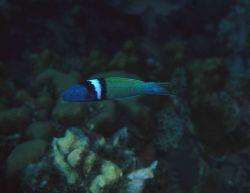 Bluehead (Thalassoma bifasciatum) Photo