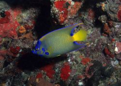 Queen angelfish (Holacanthus ciliaris) Photo