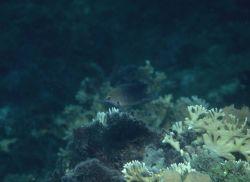 Threespot damselfish (Stegastes planifrons) Photo
