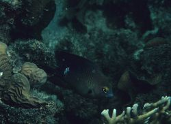 Threespot damselfish (Stegastes planifrons) Photo