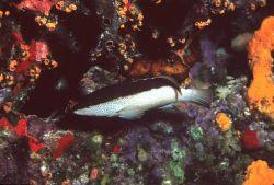 Coney (Epinephelus fulvus) with odd color phase. Photo