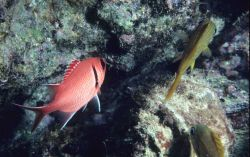 Blackbar soldierfish (Myripristis jacobus) to left and French grunt ( Haemulon flavolineatum) to right. Photo