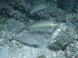 Wrasse species unidentified Photo