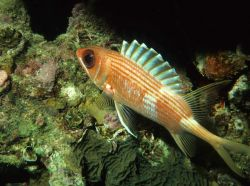 Longspine squirrelfish (Holocentrus rufus) Photo