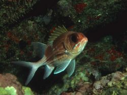 Squirrelfish (Holocentrus adscensionis) Photo