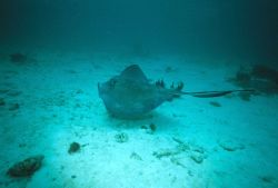Southern stingray (Dasyatis americana) Photo
