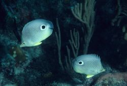 Foureye butterflyfish (Chaetodon capistratus) Photo