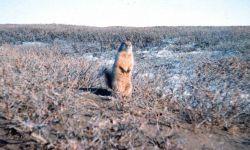 A siksikpuk (an Arctic ground squirrel) Photo