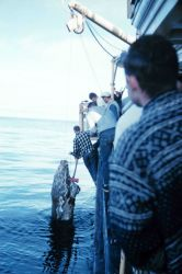 Hauling a dead walrus onto the Bureau of Commercial Fisheries Ship BROWN BEAR. Photo