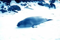 An elephant seal at Admiralty Bay, South Shetland Islands Photo