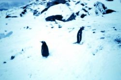 Penguins at Signy Island Photo