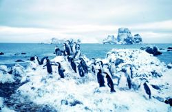 Adelie penguins at Cape Geddes, Laurie Island Photo