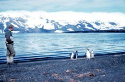 Adelie penguins on the beach at Deception Island Photo