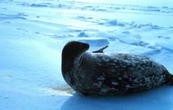 Weddell Seals hauled out on the ice getting ready to give birth. Photo