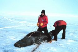 Scientists conducting studies of Weddell seals Hood placed over head causes seal to cause seal to not move Photo
