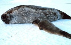 A mother Weddell seal and her pup Photo