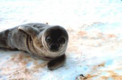 Ahhhh! What a cute baby! Weddell seal pup. Photo
