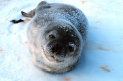 Complete trust - a baby Weddell seal Photo