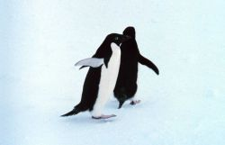 Adelie penguins Photo