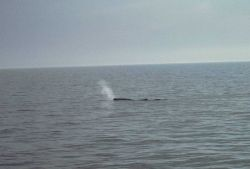 Sperm whale blowing - note forward angle of exhalation Photo